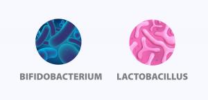 bifidobacterium lactobacillus